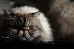 Himalayan Cat Stock Photography