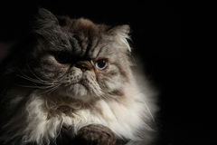 Himalayan Cat Royalty Free Stock Image