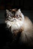 Himalayan Cat Stock Photos
