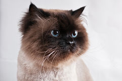 Himalayan cat with hairstyle sits in half-turn isolated studio Royalty Free Stock Images