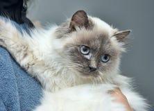 Himalayan cat Royalty Free Stock Photos
