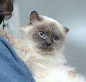 Himalayan cat Royalty Free Stock Photo
