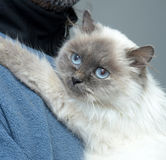 Himalayan cat Stock Photography