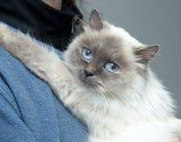 Himalayan cat Stock Image