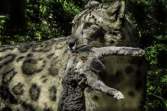 Snow Leopard With Prey Stock Photos