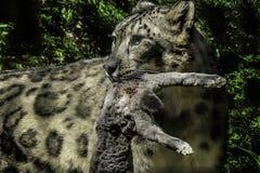 Snow Leopard With Prey Stock Photos