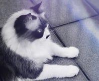 the himalayan cat stock photo