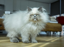 Himalayan cat playing Royalty Free Stock Images