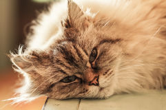 Himalayan Cat. A pretty himalayan cat about to take a nap Stock Photo
