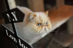 Himalayan cat Royalty Free Stock Photos