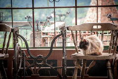 Himalayan Cat Sitting on Brown Wooden Chair Stock Image