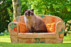 Himalayan Cat Sitting on Orange Sofa Chair during Daytime Royalty Free Stock Photo