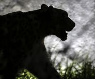 Snow Leopard Profile Royalty Free Stock Photography