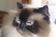 Regal looking Himalayan cat in refective mode royalty free stock photos