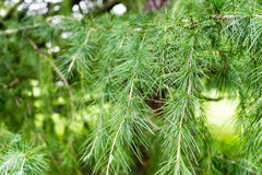 Himalayan cedar close up photo cedrus deodara. Himalayan cedar close up tree photo cedrus deodara Royalty Free Stock Image