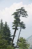 Himalayan Cedar Tree. Himalayan Cedar (Deodar) Tree in Manali, India royalty free stock photography
