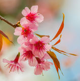 Himalayan cherry blooming (Prunus cerasoides flower) Royalty Free Stock Photos