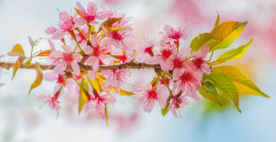 Himalayan cherry blooming (Prunus cerasoides flower) Royalty Free Stock Images