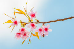 Himalayan cherry blooming (Prunus cerasoides flower) Stock Photo