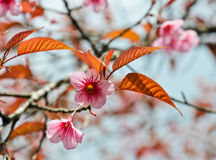 Himalayan cherry blossom Royalty Free Stock Images