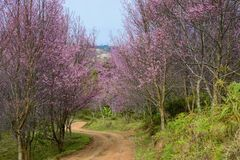 Himalayan Cherry Blossom at Phu Lom Lo. Thailand Royalty Free Stock Photos