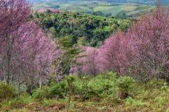 Himalayan cherry blossom at Phu Lom Lo. Thailand Stock Photo
