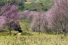 Himalayan Cherry Blossom at Phu Lom Lo. Thailand Royalty Free Stock Photo