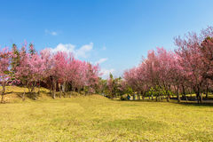 Himalayan Cherry flower (Prunus cerasoides)  cherry blossom Stock Images