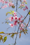 Himalayan Cherry is pink flower. Himalayan Cherry (Prunus cerasoides) or 'Queen of royal tiger Stock Photo