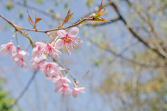 Himalayan Cherry is pink flower. Himalayan Cherry (Prunus cerasoides) or 'Queen of royal tiger Royalty Free Stock Images