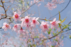 Himalayan Cherry is pink flower. Himalayan Cherry (Prunus cerasoides) or 'Queen of royal tiger Royalty Free Stock Photo