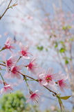 Himalayan Cherry is pink flower. Himalayan Cherry (Prunus cerasoides) or 'Queen of royal tiger Stock Image