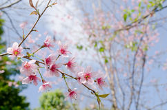 Himalayan Cherry is pink flower. Himalayan Cherry (Prunus cerasoides) or 'Queen of royal tiger Stock Images
