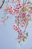 Himalayan Cherry is pink flower. Himalayan Cherry (Prunus cerasoides) or 'Queen of royal tiger is florescent flower in winter Stock Photo