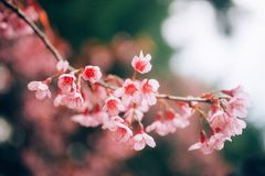 Himalayan cherry stock photo