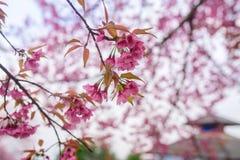 Himalayan cherry stock photos