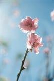 Himalayan Cherry (Prunus cerasoides) blooming. Royalty Free Stock Photo