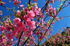 Himalayan Cherry Tree Stock Image