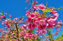 Himalayan cherry tree Stock Photography