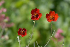 Himalayan Cinquefoil Stock Photos