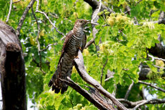 Himalayan Cuckoo female hepatic morph Stock Photos