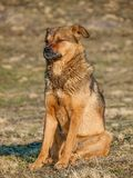 Himalayan dog Royalty Free Stock Photos