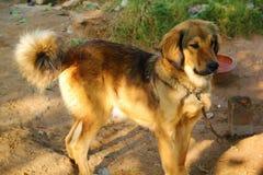 Himalayan Dog in Manali stock photography