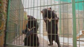 Himalayan draagt speel in een kooi, draagt Himalayan bij de dierentuin himalayan draag likken een kooi stock video
