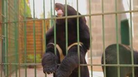 Himalayan draagt speel in een kooi, draagt Himalayan bij de dierentuin himalayan draag likken een kooi stock videobeelden