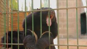 Himalayan draagt speel in een kooi, draagt Himalayan bij de dierentuin himalayan draag likken een kooi stock footage