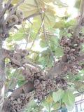 Himalayan fikonträd royaltyfri fotografi