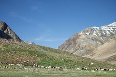 Himalayan flock of sheep Royalty Free Stock Photos