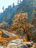 Himalayan forests Royalty Free Stock Photo