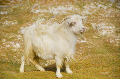 Himalayan goat pashmina Stock Image